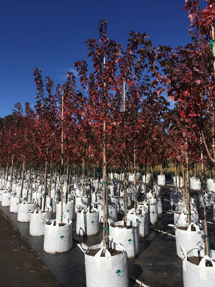 acer-rubrum-frank-jr-red-maple-redpointe