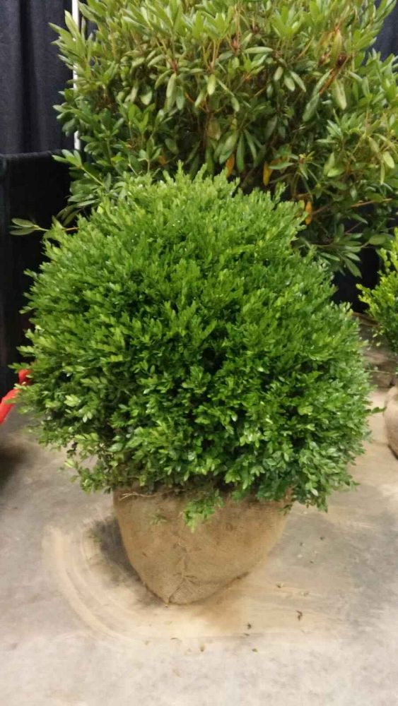 buxus-microphylla-green-velvet-littleleaf-boxwood