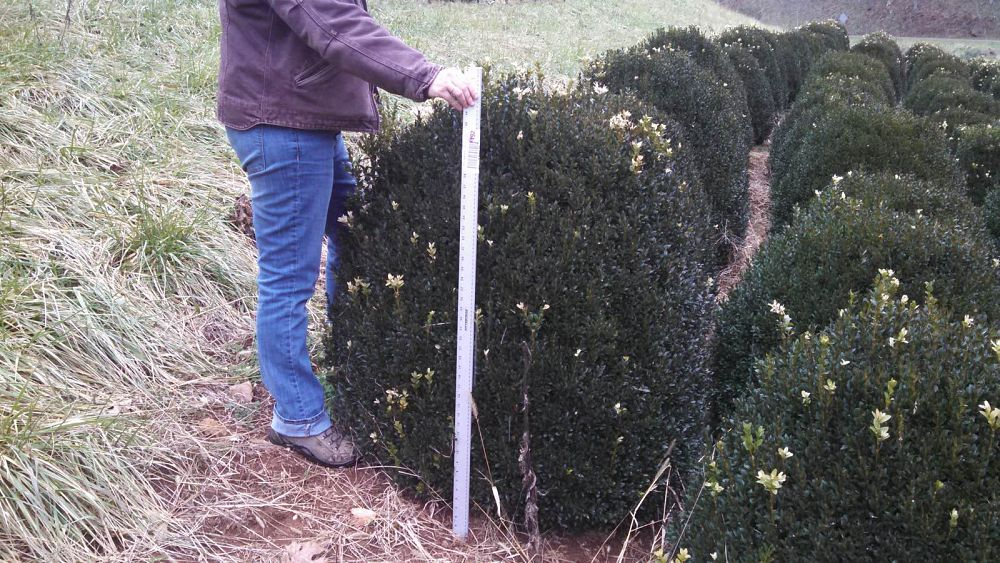 buxus-sempervirens-american-boxwood-common-boxwood