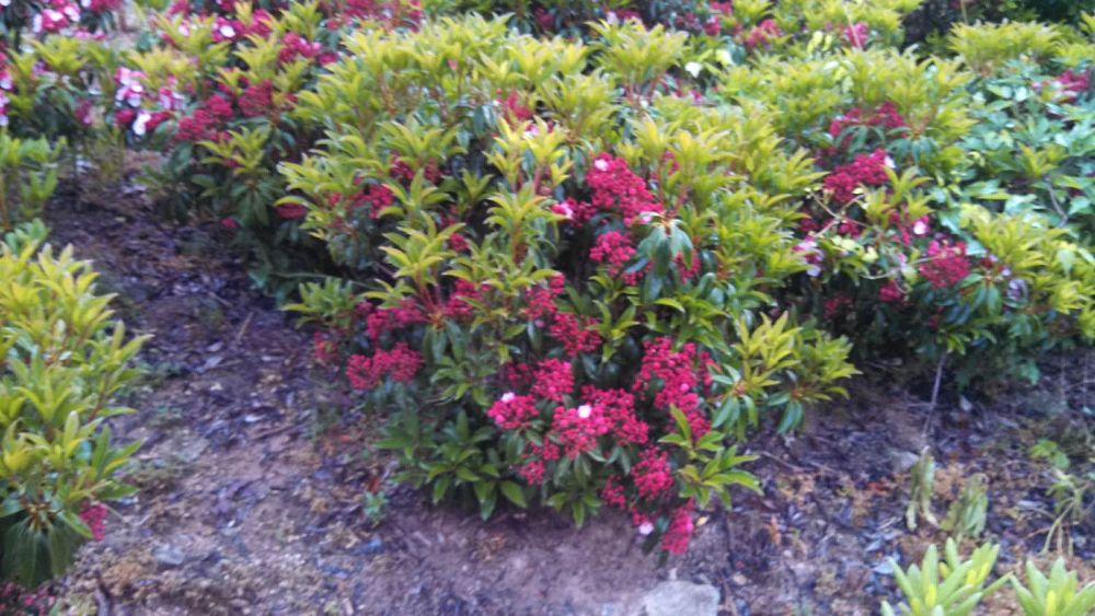 kalmia-latifolia-sarah-mountain-laurel